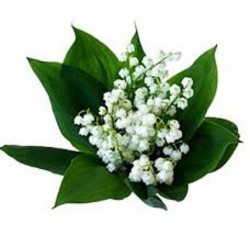 lily of the valley 200